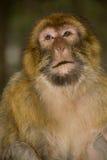 grön macaqueapa Arkivbild