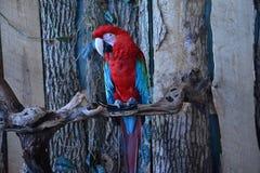 grön macawred Royaltyfri Foto