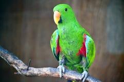 grön macawstanding Arkivbilder