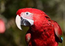 grön macawvinge Arkivbilder