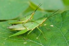 grön makroihopparning för gräshoppor Arkivbilder