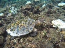 grön maldives sköldpadda Royaltyfri Foto