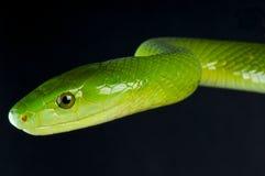 grön mamba Royaltyfri Foto