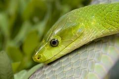 grön mamba Arkivfoto