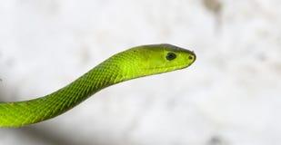 grön mamba Arkivbild