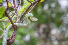 Grön mamba i ett träd Royaltyfri Fotografi