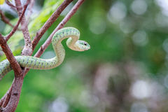 Grön mamba på en filial Royaltyfri Foto