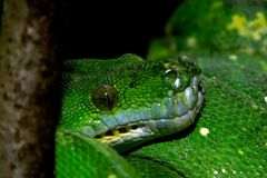 Grön Mamba som vilar på en lem Arkivbilder