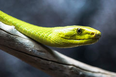 Grön mamba upp uppemot en filial Fotografering för Bildbyråer