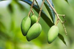 grön mango Arkivbild