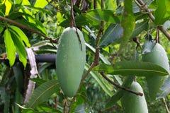 Grön mango på trädbladbakgrunden Arkivbild