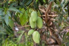 Grön mango på trädet. Arkivbilder
