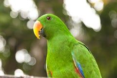 Grön manlig papegoja med den orange näbb i PNG Royaltyfri Bild