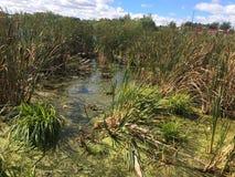 grön marsh Royaltyfria Foton