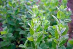 Grön mintkaramellväxt, pepparmint som växer i trädgård royaltyfria bilder