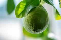 Grön mogen rå limefrukt med sidor på en closeup för trädfilial Begrepp av att växa ny citrusfrukt arkivbild