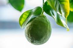 Grön mogen rå limefrukt med sidor på en closeup för trädfilial Begrepp av att växa ny citrusfrukt royaltyfria bilder