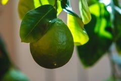Grön mogen rå limefrukt med sidor på en closeup för trädfilial Växande ny citrusfrukt royaltyfri foto