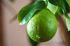 Grön mogen rå limefrukt med sidor på en closeup för trädfilial Växande ny citrusfrukt royaltyfria foton