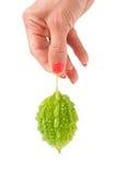 Grön momordica eller karela i handen som isoleras på vit bakgrund Arkivfoto