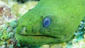 Grön morayål på korallreven, slut upp stock video