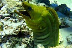 grön moray Arkivbild