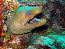 grön moray för ål Royaltyfri Foto
