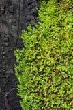 Grön Mos på den svarta plankan Royaltyfria Foton