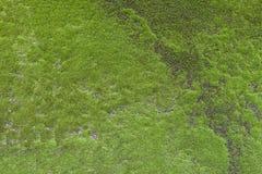 Grön mos på den trädtexturen eller bakgrunden Royaltyfri Foto