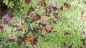 grön moss lager videofilmer
