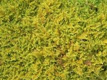 grön moss för bakgrund Arkivfoton