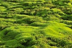 grön moss för bakgrund Royaltyfria Foton