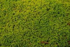 grön moss för bakgrund Royaltyfri Fotografi