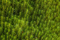 grön moss Mossa växer i den Textural bakgrunden för skogen arkivbild