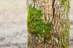 Grön moss på en treestam Arkivbild