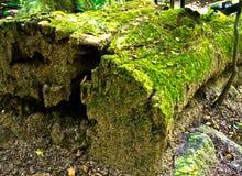 Grön moss på gammalt loggar arkivbilder
