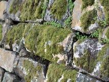 Grön moss växer på gammalt vaggar väggen Arkivbild