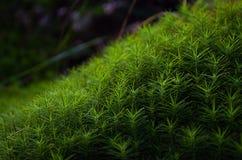 Grön mossa för makro Arkivfoton