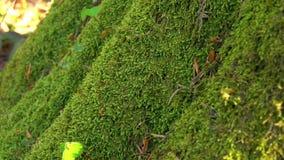 Grön mossa för perenn som är fullvuxen på trädstammen Slutet ups, detaljer lager videofilmer