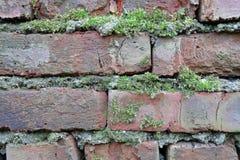 Grön mossa har fullvuxet på en våt tegelsten Gammal Brickwork red med den vita skarven Röd silikattegelsten Smula tegelsten iblan royaltyfria bilder