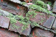 Grön mossa har fullvuxet på en våt tegelsten Gammal Brickwork red med den vita skarven Röd silikattegelsten Smula tegelsten iblan arkivbild