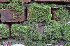 Grön mossa har fullvuxet på en våt tegelsten Gammal Brickwork red med den vita skarven Röd silikattegelsten Smula tegelsten iblan arkivfoto