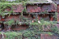 Grön mossa har fullvuxet på en våt tegelsten Gammal Brickwork red med den vita skarven Röd silikattegelsten Smula tegelsten iblan royaltyfri fotografi