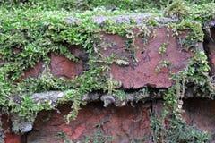 Grön mossa har fullvuxet på en våt tegelsten Gammal Brickwork red med den vita skarven Röd silikattegelsten Smula tegelsten iblan arkivfoton