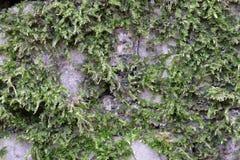 Grön mossa har fullvuxet på en våt tegelsten Gammal Brickwork red med den vita skarven Vit silikattegelsten Smula tegelsten iblan royaltyfri fotografi