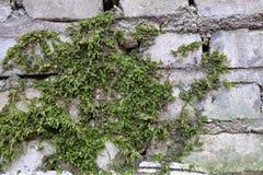 Grön mossa har fullvuxet på en våt tegelsten Gammal Brickwork red med den vita skarven Vit silikattegelsten Smula tegelsten iblan arkivbild