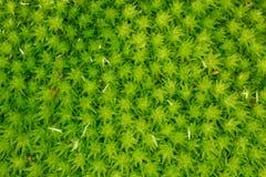 Grön mossa i makrofotografi Arkivbild