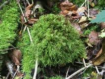 Grön mossa i skogen, närbild royaltyfria foton