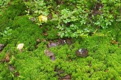 Grön mossa i skogen, slut upp Royaltyfri Bild