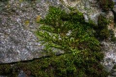 Grön mossa och lavtextur och bakgrund Mossig stenbakgrund Closeupsikt av grön mossa och laven Royaltyfria Foton